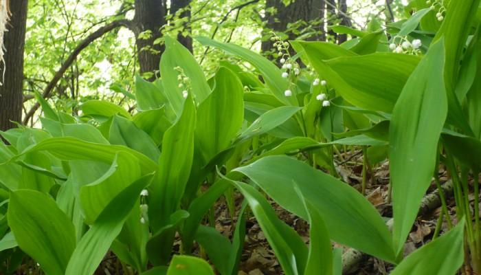 Гребени цветущие ландыши на склоне