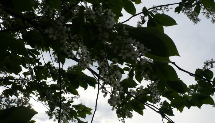 Цветущие деревья весной